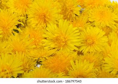 beautiful yellow flowers of Dandelion