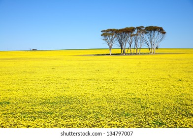 Beautiful Yellow flowers field and blue sky, landscape in Australia.