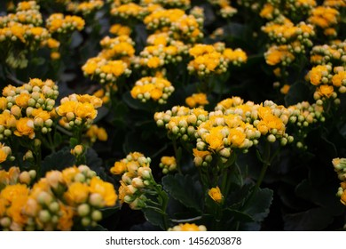Beautiful yellow flowers in the garden, closed up and bokeh background. It's known as flaming Katy, Christmas kalanchoe, florist kalanchoe, Madagascar widow's thril, Kalanchoe blossfeldiana, Calandiva