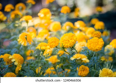 Beautiful yellow flowers in the garden, floral background, floral images