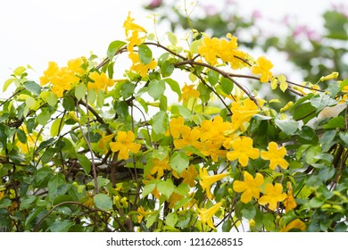 Beautiful yellow flowers with green leaves  on metal fence  over white background ,Cat's Claw, Catclaw Vine, Cat's Claw Creeper plants