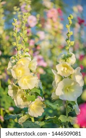 Beautiful yellow flowers of mallow outdoors close-up in summer garden. Blooming musk mallow in early sunny bright morning