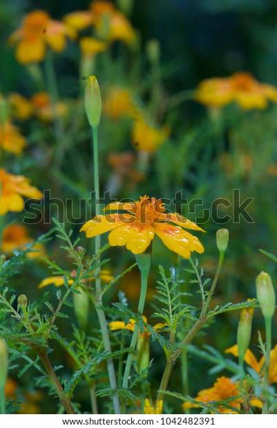 beautiful yellow flowers in the morning dew