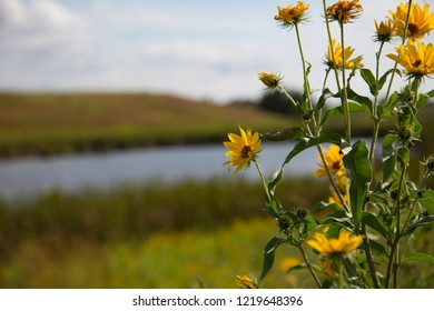 Beautiful Yellow Flowers Near Wetlands Slough