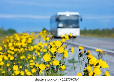 Beautiful yellow flowers on the side of the road.Dandelions blooming flowers along the road with a bus in the background