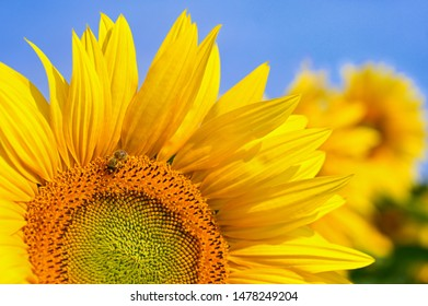 Beautiful yellow flowers - sunflower with bee. Traditional colorful summer background. (Helianthus)
