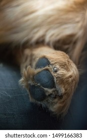 BEAUTIFUL YELLOW FUR GOLDEN RETRIEVER´S PAW CLOSE UP OVER DARK GREY BACKGROUND