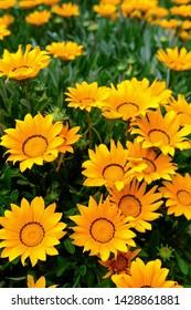 Beautiful yellow gazania flowers. Bright flowers on gazania on garden flower bed during blossom, Closeup of gazania flowers in sunlight, Flower background. Summer background. Garden photo.