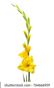 Beautiful yellow gladiolus flower isolated on white background. Flat lay, top view. Bridal bouquet for the wedding