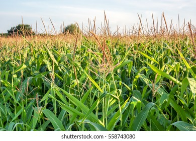 beautiful yellow golden corn flowers with green leaves against some green trees blue sky in sunshine, green corn field background, summer sunny wallpaper with green corn field