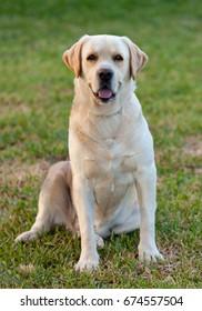 Beautiful Yellow Golden Labrador on the grass
