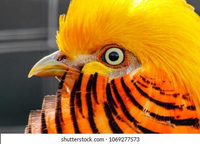 Golden Pheasant Images, Stock Photos & Vectors | Shutterstock