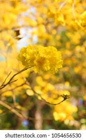 Beautiful yellow golden trumpet-tree flowers, wallpaper background, Soft Focus