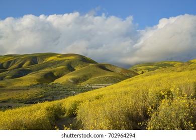 Beautiful yellow goldifelds blossom at Carrizo Plain National Monument, California, U.S.A.