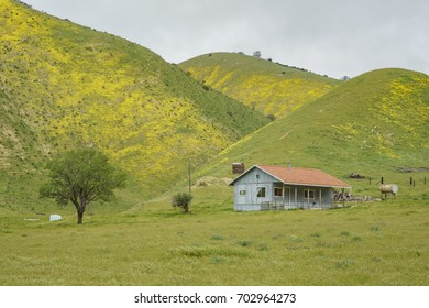 Beautiful yellow goldifelds blossom with hills and wooden house at Carrizo Plain National Monument, California, U.S.A.