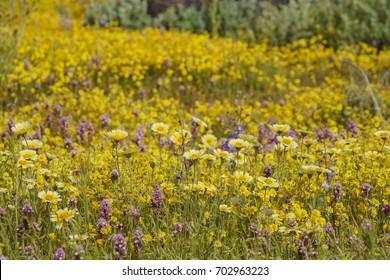 Beautiful yellow goldifelds and tidy tips blossom at Carrizo Plain National Monument, California, U.S.A.