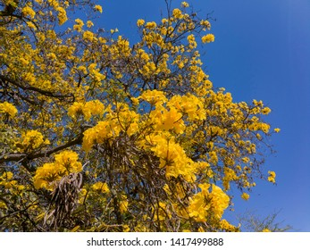The beautiful yellow Handroanthus chrysotrichus blossom at Los Angeles, California