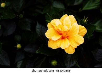 Beautiful of yellow hibiscus flower.