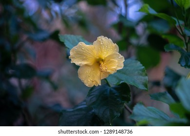 Beautiful Yellow Hibiscus Flower with dark green background, isolated, closeup