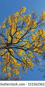 beautiful yellow ipe with blue sky