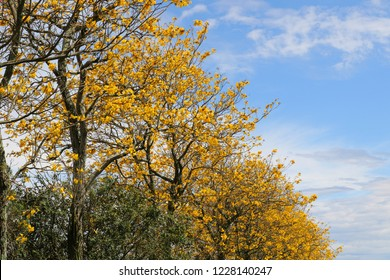 Beautiful yellow ipe trees and bright blue sky. Colorful spring in the south of Brazil.