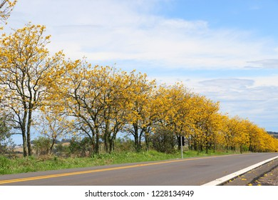 Beautiful yellow ipe trees by the road, near Passo Fundo City in Rio Grande do Sul state. Colorful spring in the south of Brazil and bright blue sky.