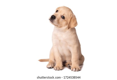 Beautiful yellow labrador puppy sitting on a white background