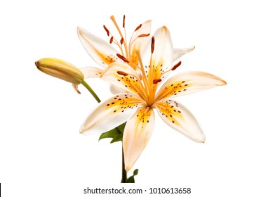 Beautiful yellow lily isolated on white background. Summer. Spring. Flat lay, top view. Love. Valentine's Day. Flower