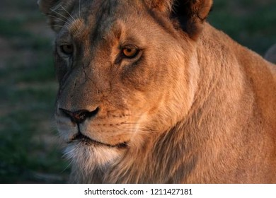 beautiful yellow lioness with a scary look
