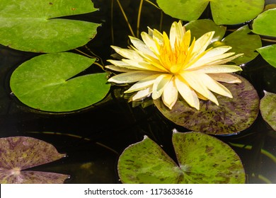 Beautiful yellow lotus with green leaves in swamp pond. Peaceful yellow water lily flowers and green leaves on the pond surface.