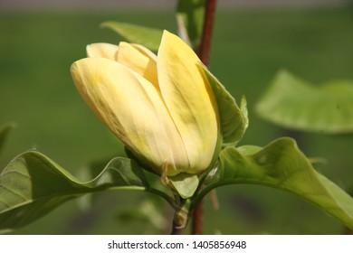 Yellow Magnolia Images Stock Photos Vectors Shutterstock