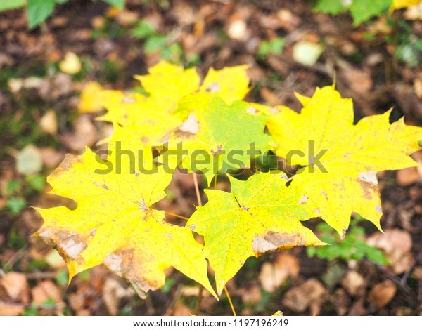 Beautiful yellow maple tree leaves over brown leaves at autumn in Norway