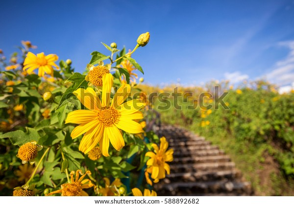 beautiful yellow mexican sunflower field on the hill at Doi mae u kor