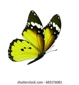 Beautiful yellow monarch butterfly isolated on white background.