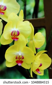 Beautiful yellow moth orchid in full bloom