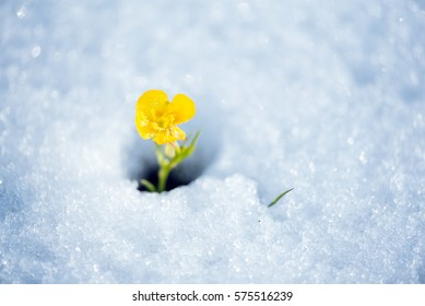 Beautiful yellow mountain flower breaking the snow cover