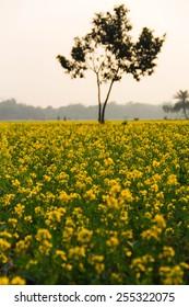 Beautiful yellow mustard field showing beauty in nature in winter.