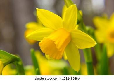 Beautiful yellow narcissus in the garden closeup