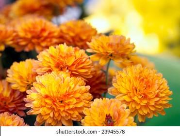 Beautiful yellow and orange chrysanthemum flower autumn golden background