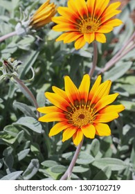 Beautiful yellow orange Gazania rigens flowers blooming in the background of silver foliage. Clumping gazania or treasure flower, is a species of flowering plant in the family Asteraceae. Close up.