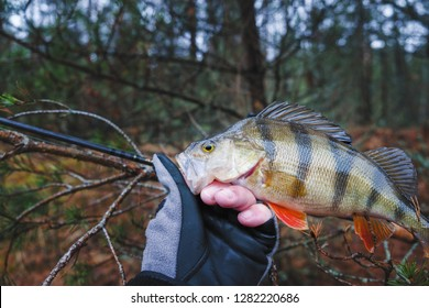Beautiful yellow perch in the hand of angler.