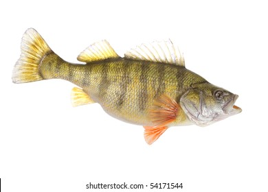 beautiful yellow perch isolated on white background