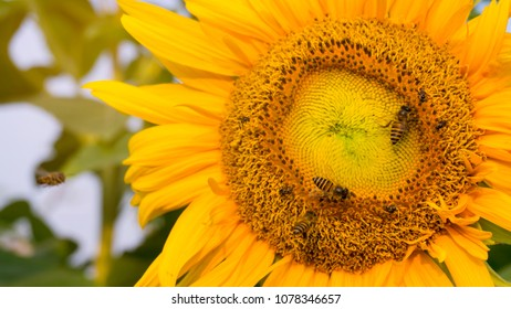 Beautiful yellow petals of Sunflower and the bees are taking sweet nectar sugar from sweet pistil, closeup photo