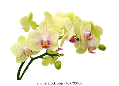 beautiful yellow Phalaenopsis Blume orchid flowers, isolated on white background