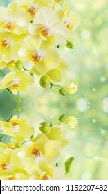 Beautiful yellow phalaenopsis orchid flowers with butterfly on the blurred abstract natural yellow-green background with reflection in a water surface close-up. Elegant vertical banner of nature