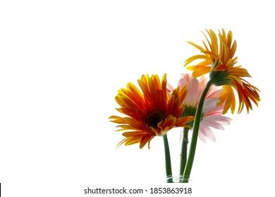 Beautiful Yellow and Pink Gerbera (Gerbera jamesonii) flower on white background.