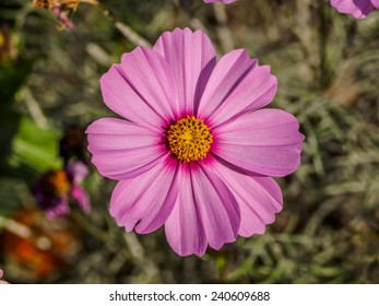 a beautiful yellow and pink Marguerite, Daisy flower