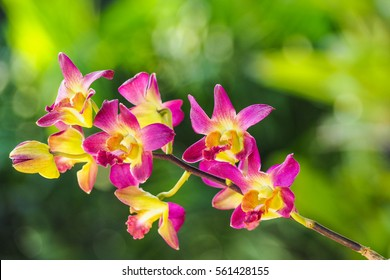 A Beautiful yellow and pink Orchids on a branch with blurry green leaf in the background