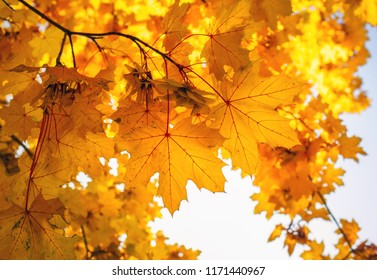 Beautiful yellow and red colorful autumn maple leaves