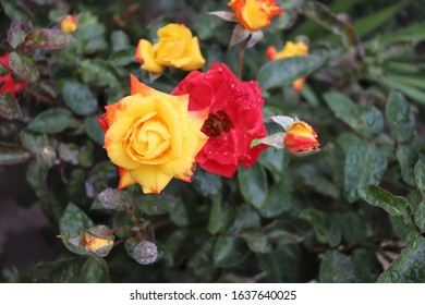 beautiful yellow and red roses